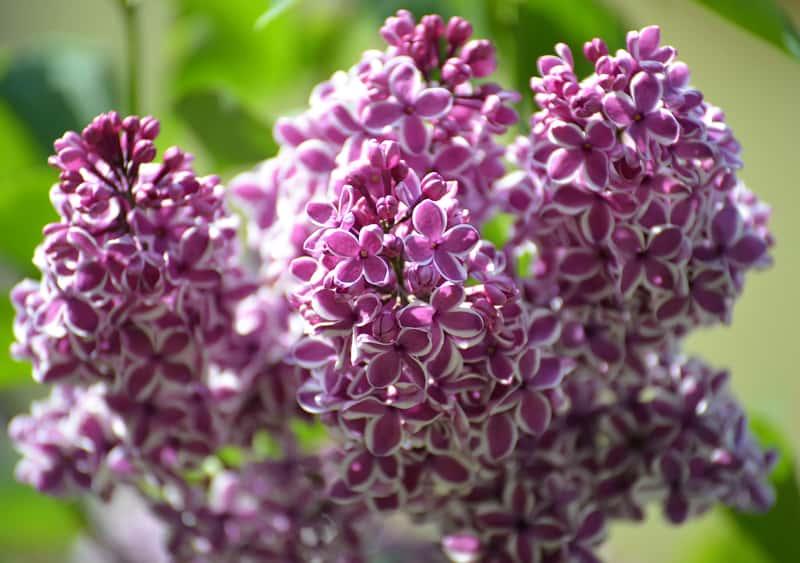 Lilak - odmiany, sadzenie, uprawa, cięcie