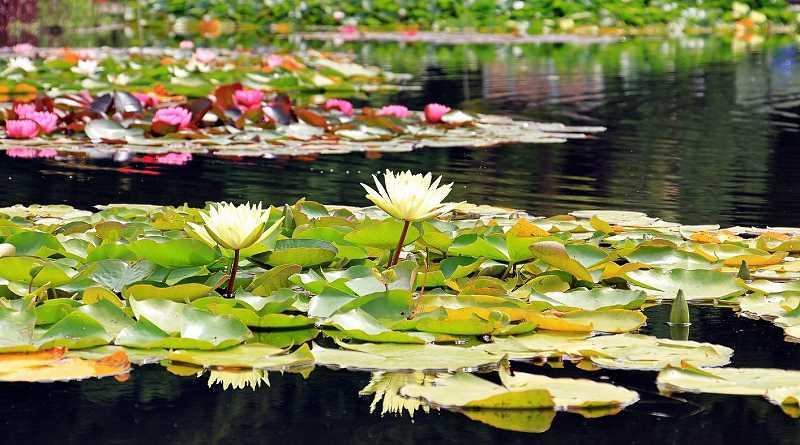 rośliny wodne są elementem wyróżniającym się w każdym ogrodzie z oczkiem wodnym