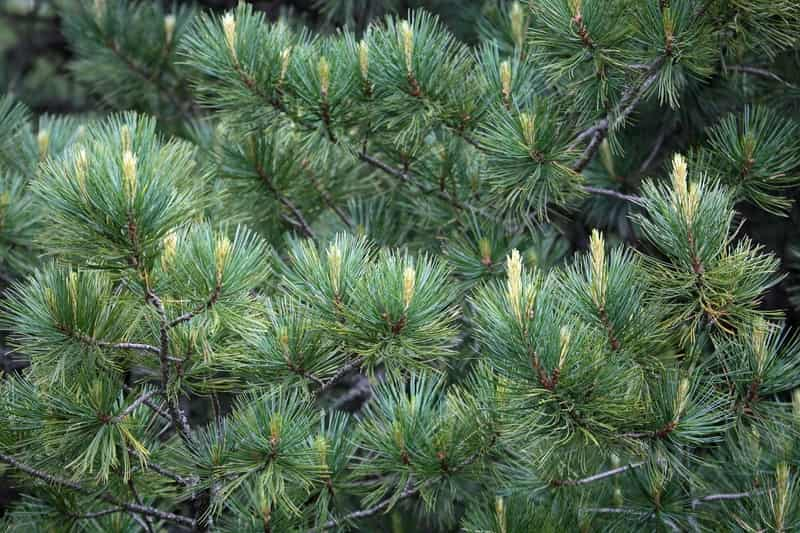 Sosna limba (pinus cembra) - opis, odmiany, uprawa, pielęgnacja, choroby