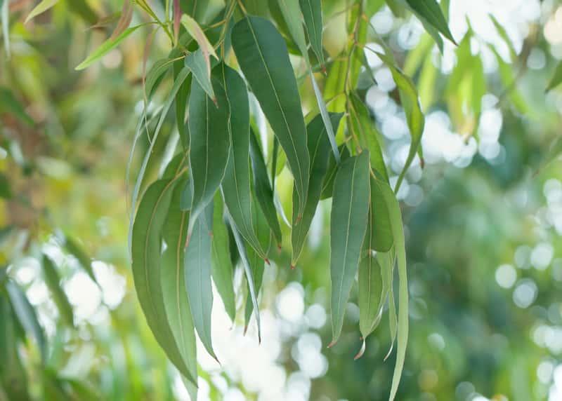 Liść eukaliptusa królewskiego. To najwyższe drzewo na świecie z rodzaju liściastych niższe tylko od sekwoi