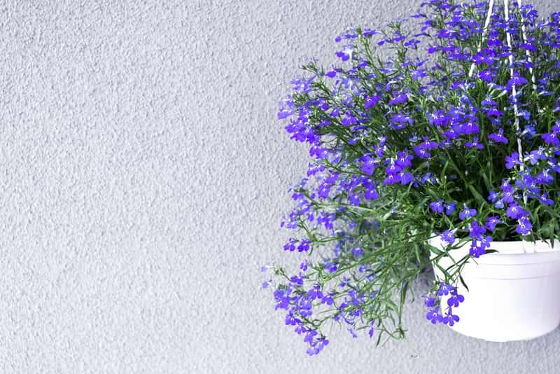 Lobelia zwisająca w czasie kwitnienia