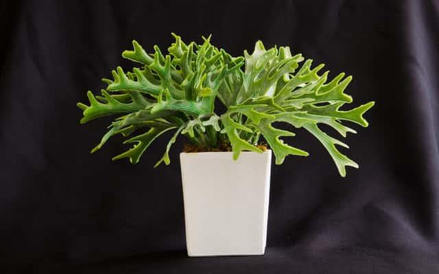 Łosie rogi - paproć o nietypowych liściach - uprawa, pielęgnacja, porady