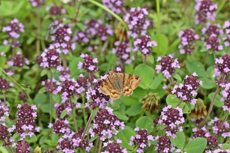 Motyw na kwiatach macierzanki