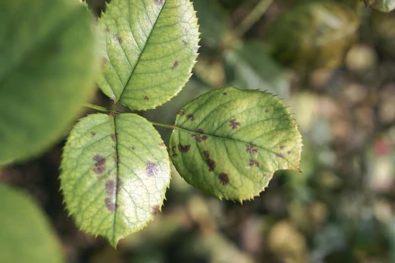 Mączniak prawdziwy i rzekomy - zwalczanie choroby, opryski, porady