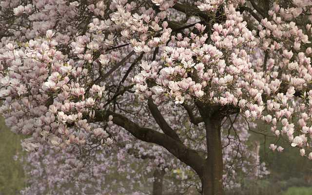 Magnolia - odmiany, wymagania, sadzenie, uprawa, pielęgnacja