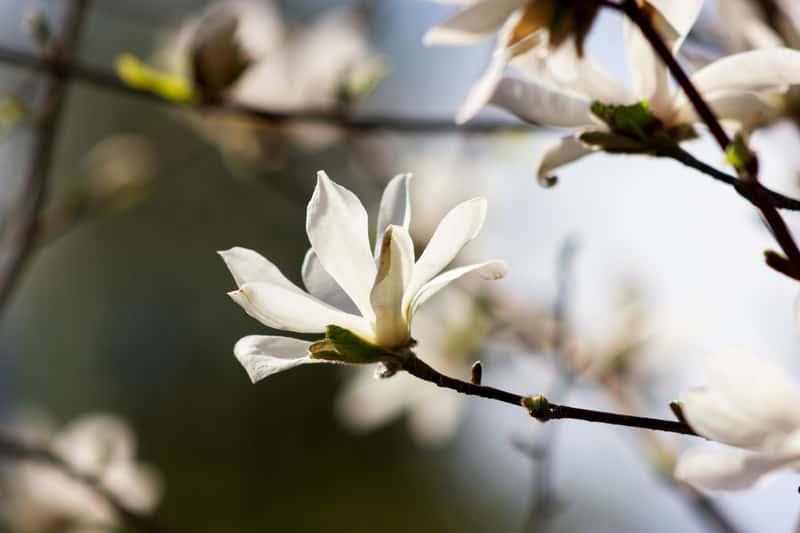 Magnolia japońska w ogrodzie
