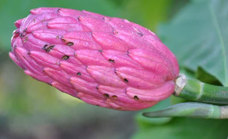 Kwiat magnolii parasolowatej