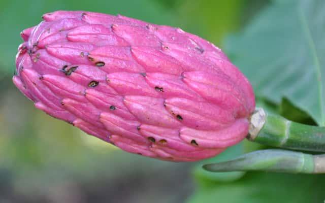 Magnolia parasolowata - sadzenie, uprawa, wymagania, ceny