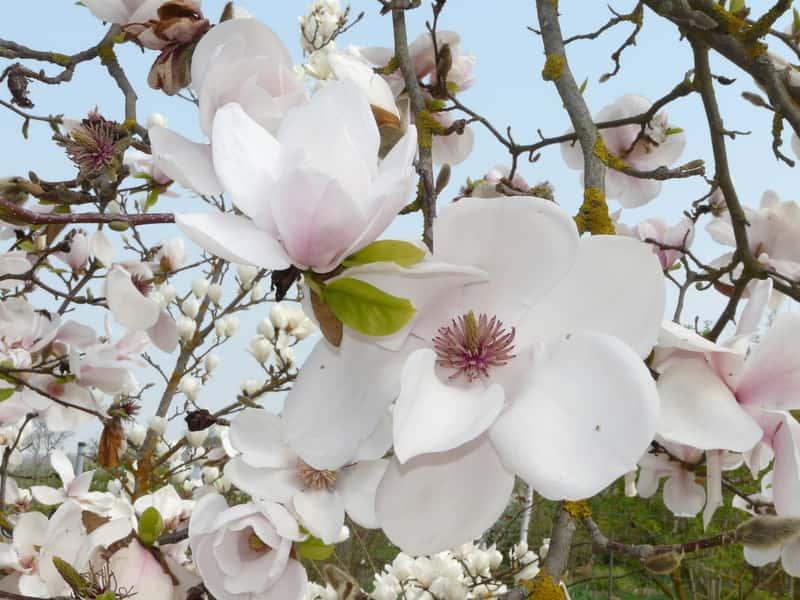 Magnolia pośrednia w ogrodzie