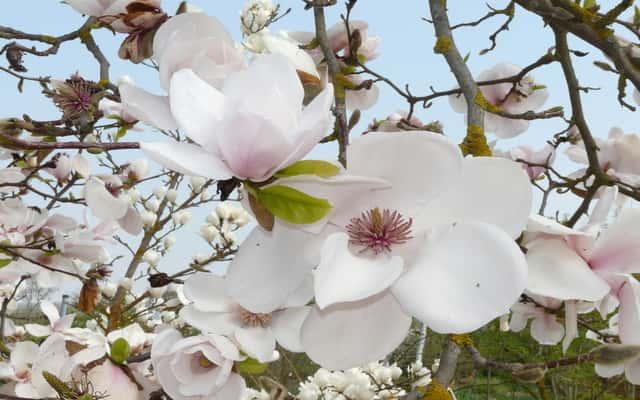 Magnolia pośrednia - odmiany, cena, wymagania, uprawa, sadzenie