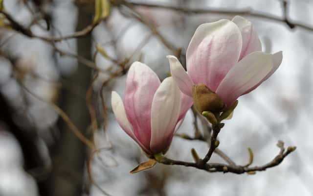 Magnolia susan – sadzenie, uprawa, pielęgnacja, wymagania, choroby