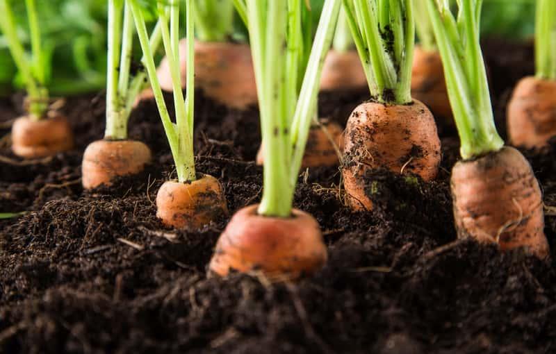 Młoda marchewka rosnąca w ogrodzie