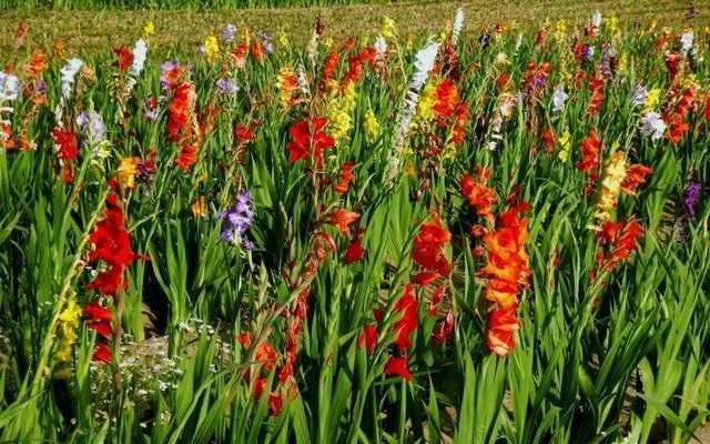 Mieczyki (gladiole) - sadzenie, uprawa, pielęgnacja