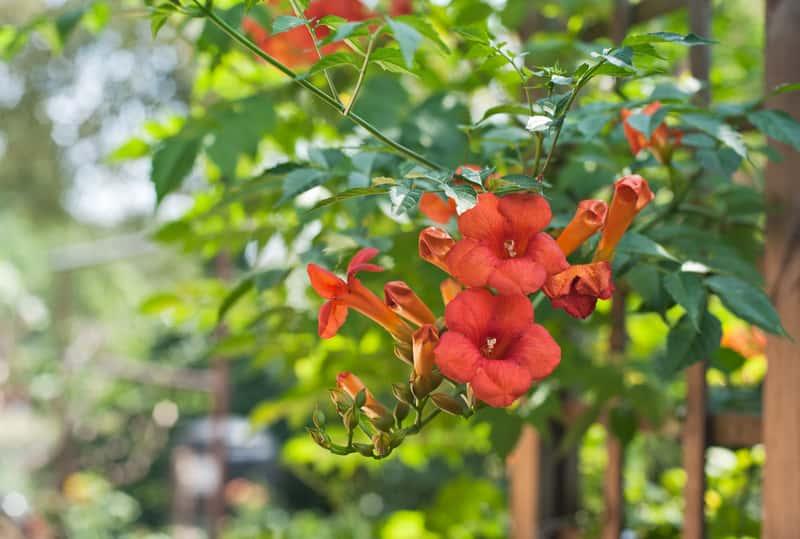 Czerwony kwiat mulinu