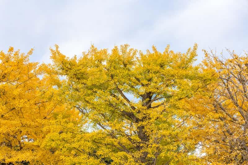 Żółte liście miłorzębu japońskiego
