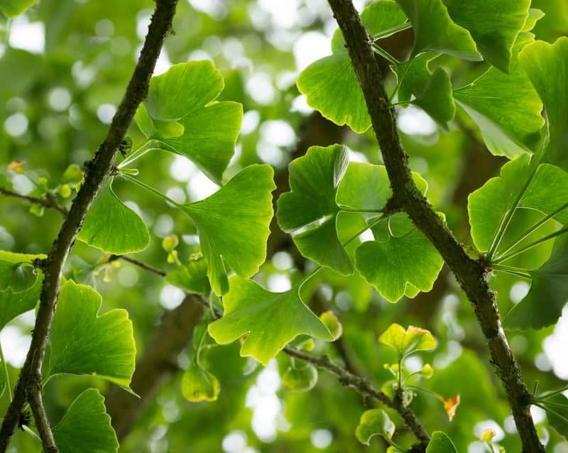 Zielone liście miłorzębu japońskiego