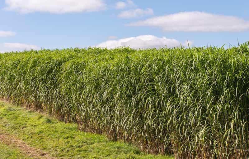 Miskant olbrzymi (miskant giganteus) - sadzenie, uprawa, pielęgnacja, wymagania glebowe