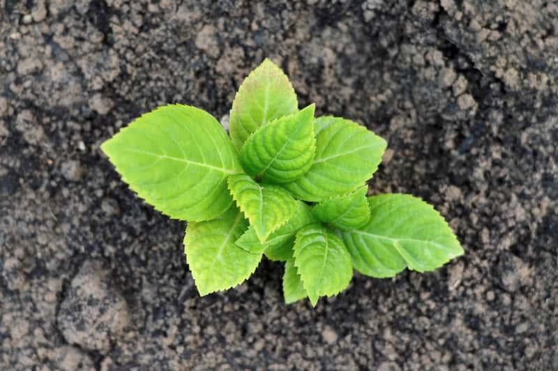 Kiedy sadzić hortensje? Praktyczny poradnik sadzenia i przesadzania