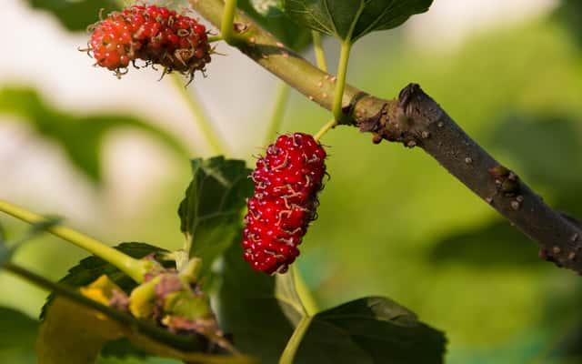 Morwa czerwona - sadzenie, uprawa, zastosowanie, odchudzanie, owocowanie