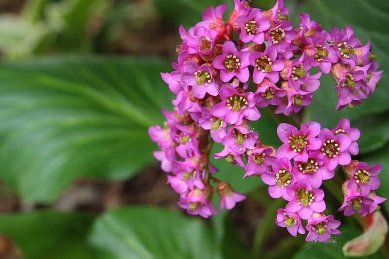 Bergenia sercowata w okresie kwitnienia