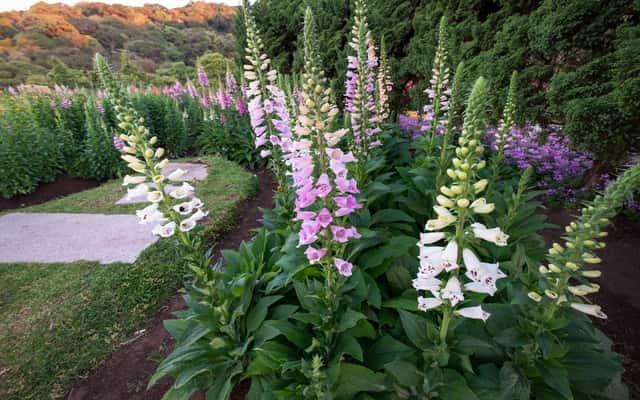 Naparstnica - odmiany, sadzenie, uprawa, rozmnażanie, wymagania