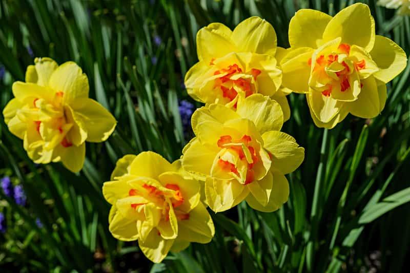 Żółty narcyz w okresie kwitnienia