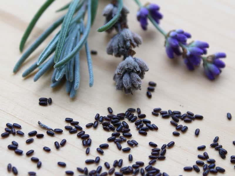 Jak wybrać nasiona i sadzonki lawendy? Odmiany, ceny, porady przy wyborze