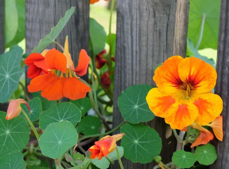 Pięknie kwitnąca nasturcja w ogrodzie