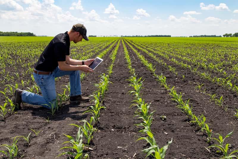 Nawożenie kukurydzy krok po kroku - poradnik praktyczny