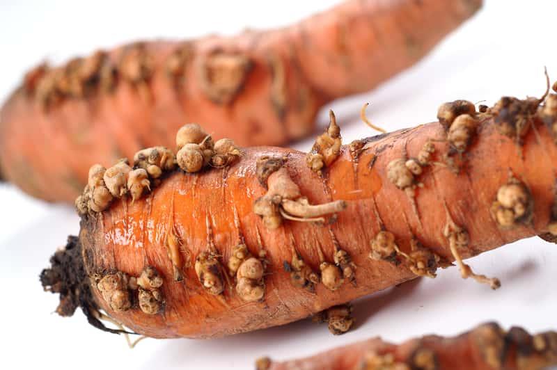 Nicienie na marchewce