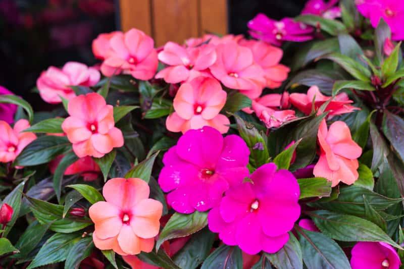 Niecierpek nowogwinejski w czasie kwitnienia