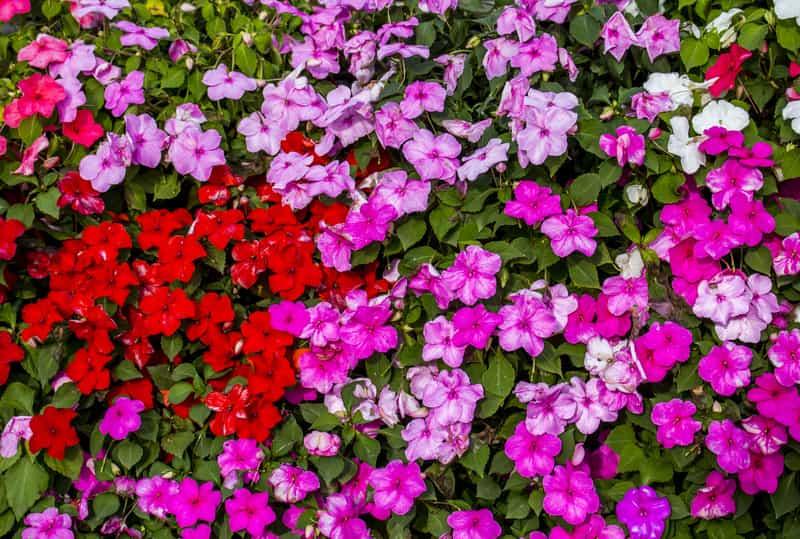 Niecierpek waleriana w czasie kwitnienia