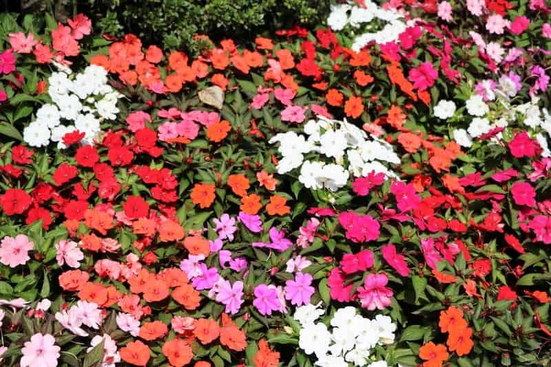 Niecierpek ogrodowy w czasie kwitnienia