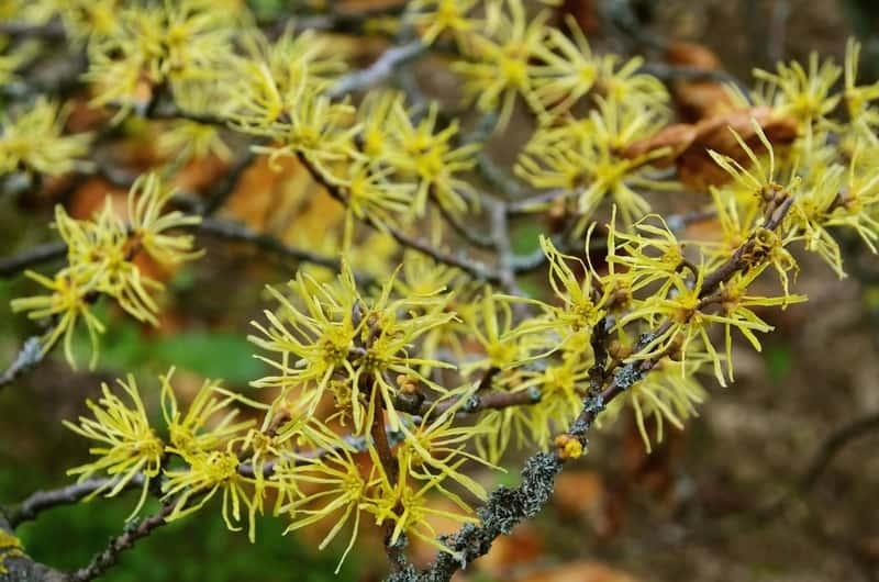 Krzew oczar wirginijski z kwiatami