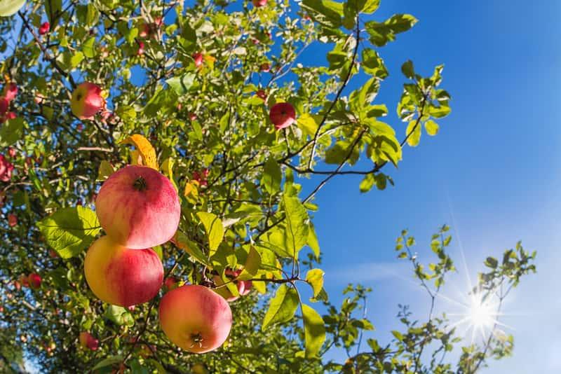 Jabłka w słonecznym sadzie na jabłoni