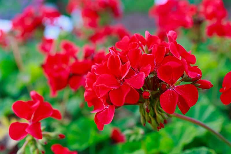 Czerwone kwiaty pelargonii