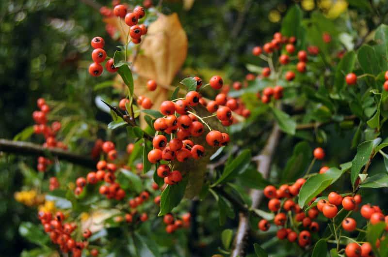 Krzew ognik z pomarańczowymi owocami