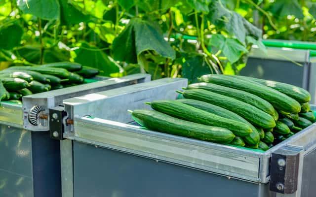Ogórki szklarniowe - odmiany, sadzenie, pielęgnacja, przycinanie, nawożenie, porady