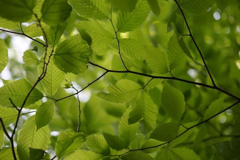 Zielone liście olchy