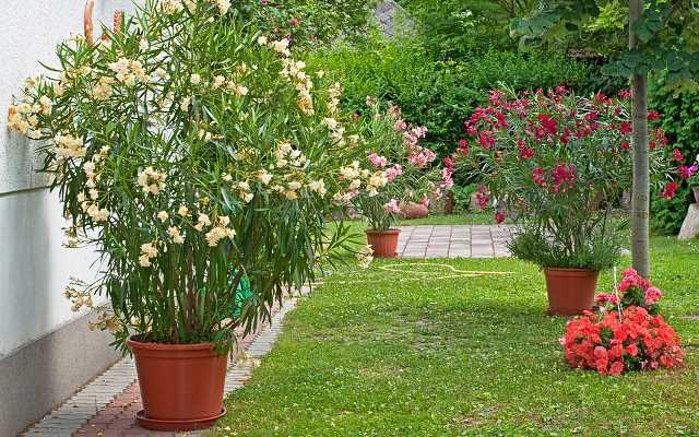 Oleander pospolity - pielęgnacja, choroby, zimowanie i inne porady