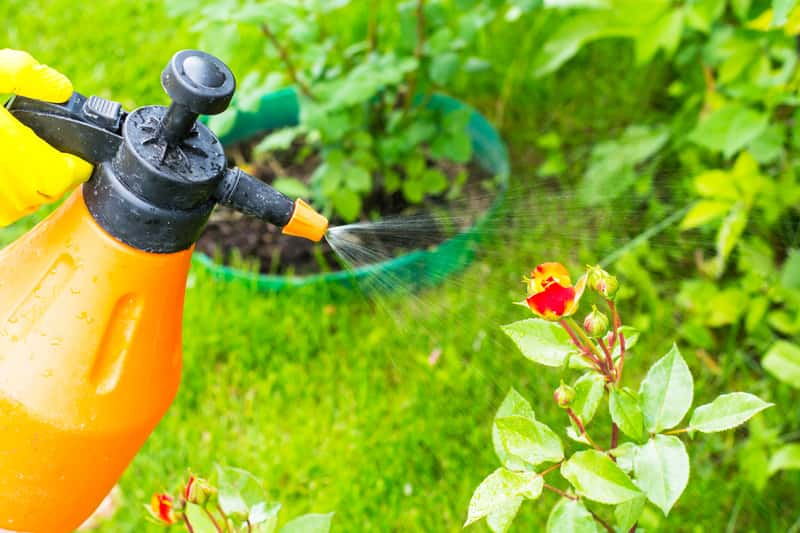 Opryskiwacz ogrodowy w użyciu