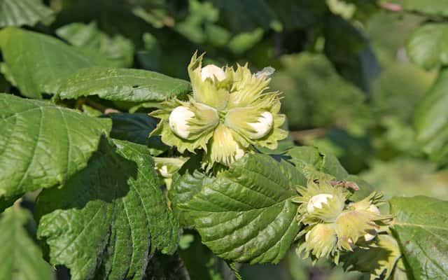 Orzech laskowy - uprawa, sadzenie leszczyny, pielęgnacja i inne porady