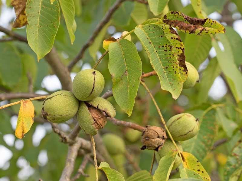 Pękające owoce orzecha włoskiego