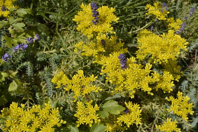 Rozchodnik ościsty Sedum reflexum w czasie kwitnienia żółtymi kwiatami i w towarzystwie innych roślin