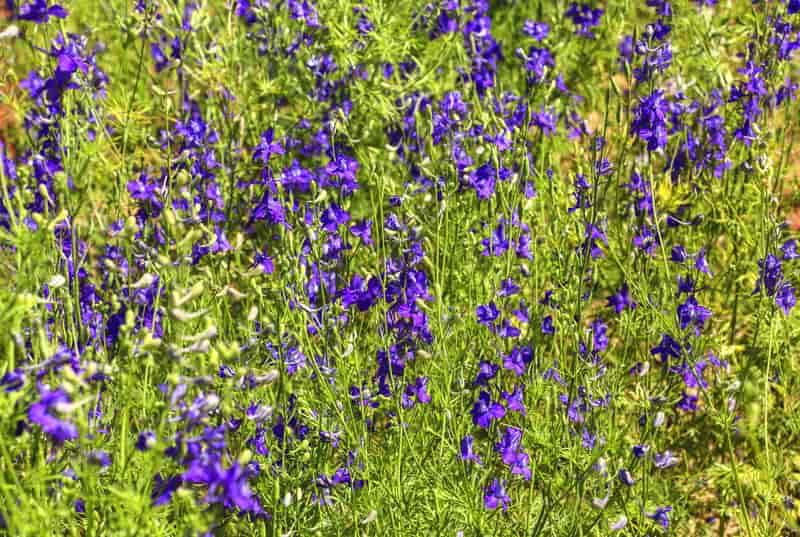 Ostróżeczka polna w czasie kwitnienia