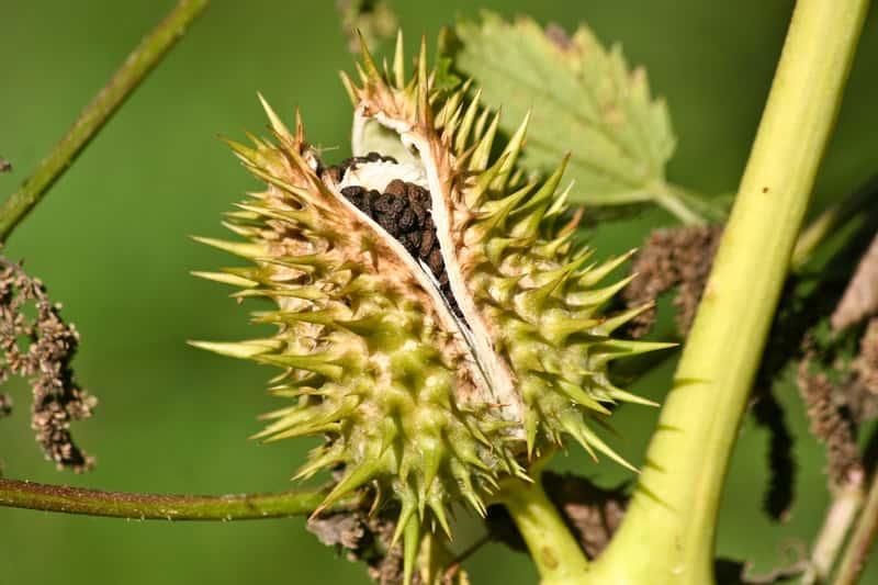 Owoc bielunia dziędzierzawego satura stramonium, czyli roślina, która działa silnie jak narkotyk i zagraża życiu