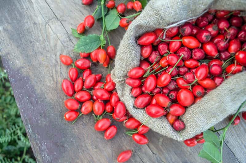 Czerwone owoce dzikiej róży