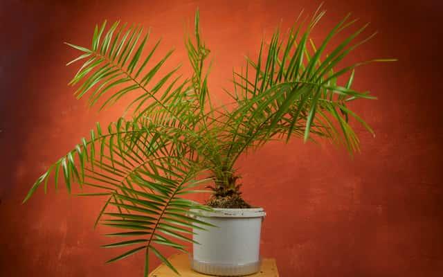 Palma kokosowa w doniczce – uprawa w domu, pielęgnacja, podlewanie, cena