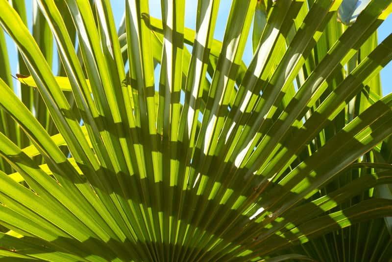 Palma waszyngtonia w doniczce - uprawa, pielęgnacja, choroby, porady
