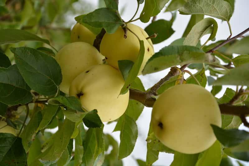 Jabłoń Papierówka z owocami